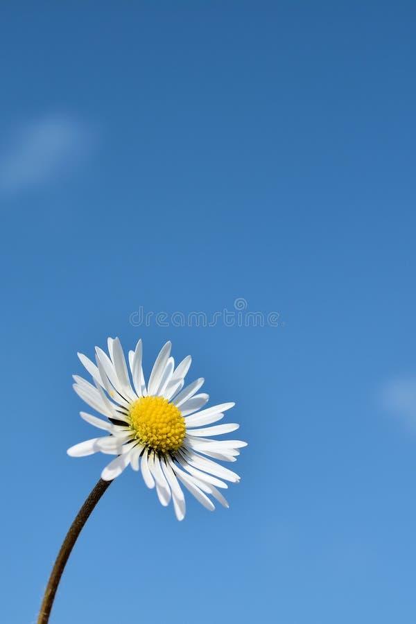 Daisy in springtime stock photo