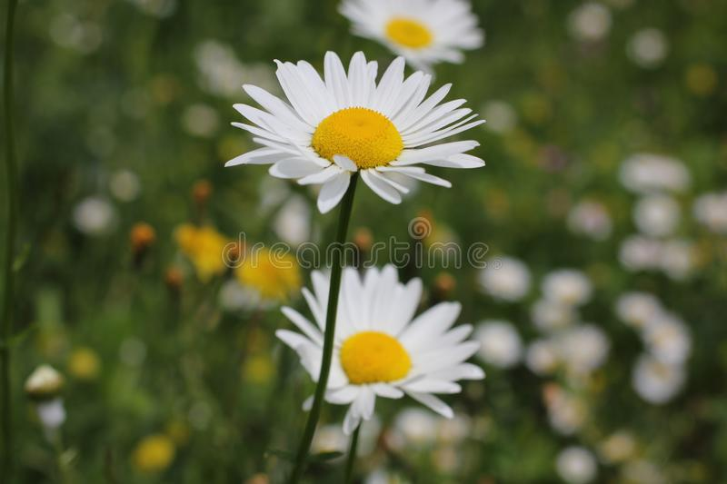 Wild daisy flowers growing on green meadow royalty free stock images