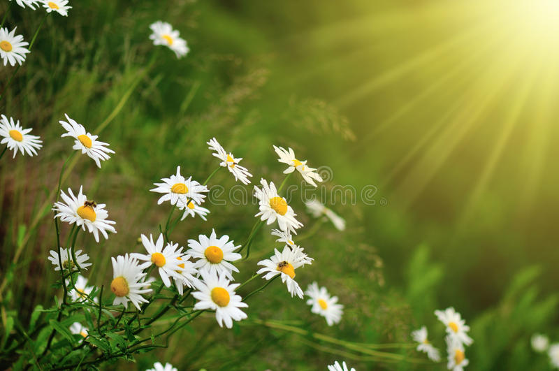 Download Daisy and sunray stock image. Image of nature, spring - 25725189