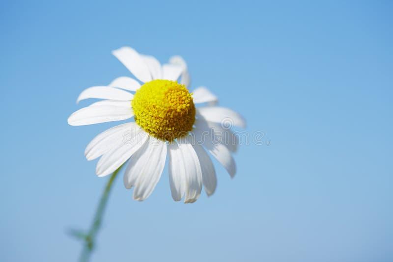 Daisy tegen blauwe hemel stock foto