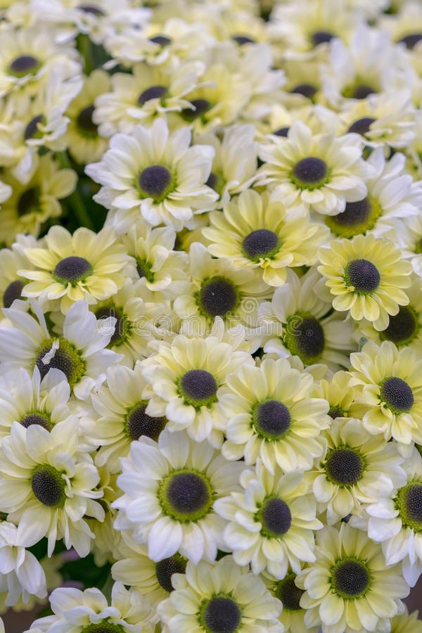 Daisy texture. Group of Chamomile flower heads. background. bouquet of beautiful daisies flowers, close up. vertical photo royalty free stock images