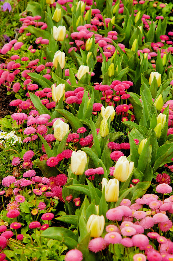 daisy tulipanów obrazy stock