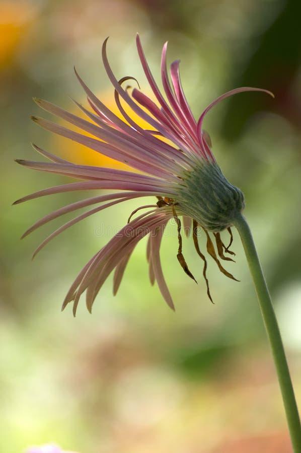 Daisy Type Flower nel giardino fotografia stock