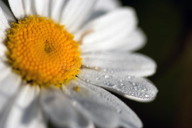 Download Daisy under the sun stock image. Image of image, dewdrop - 11535937