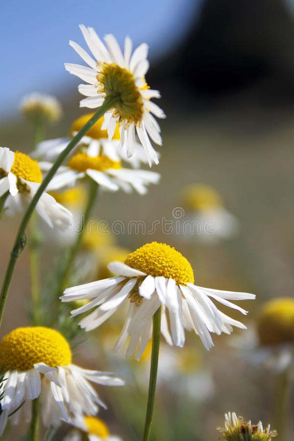 Download Daisy wheel field stock image. Image of daisy, magnificent - 39501943