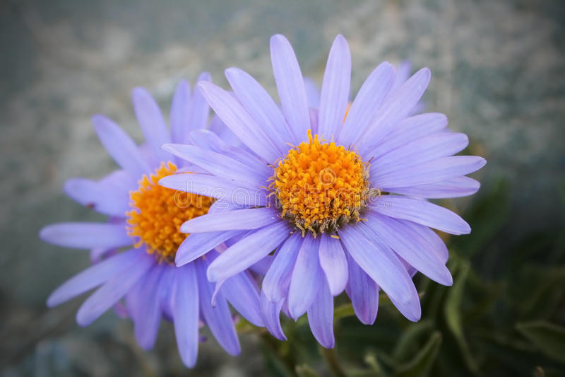 Download Daisy wheel field stock image. Image of field, daisy - 39501949