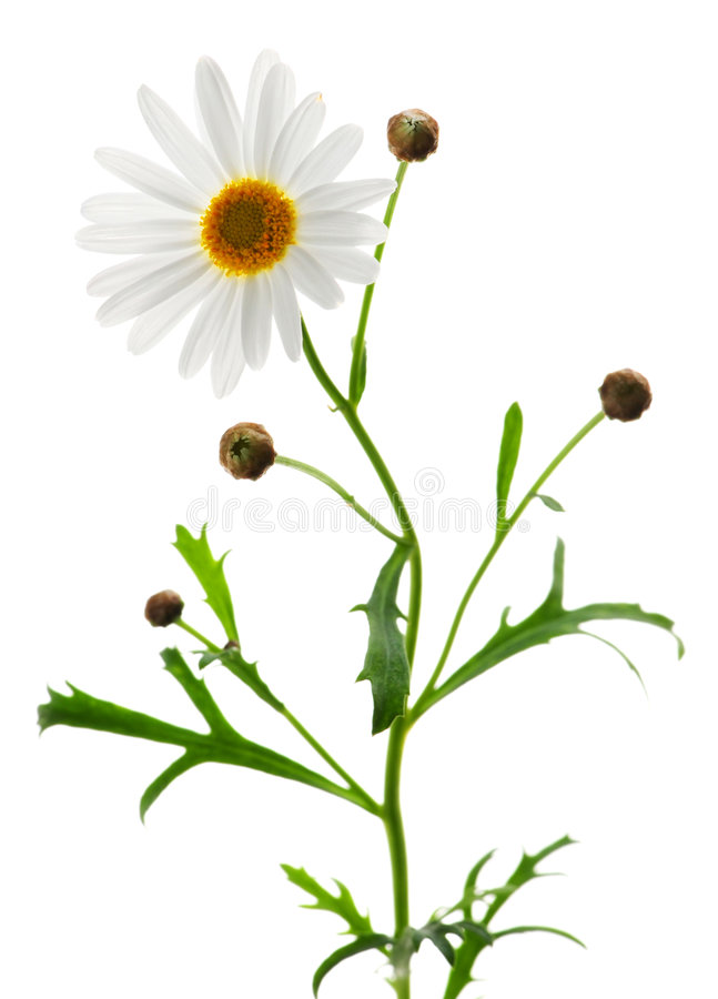 Daisy on white background stock image