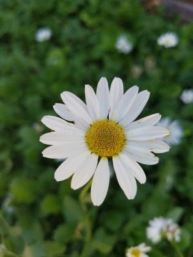 Daisy White Blume stockbild