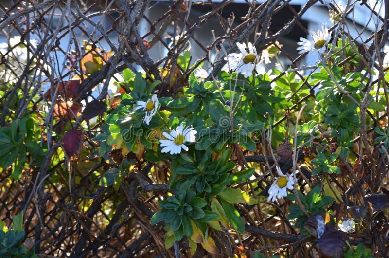 Daisy wijnstok stock foto's