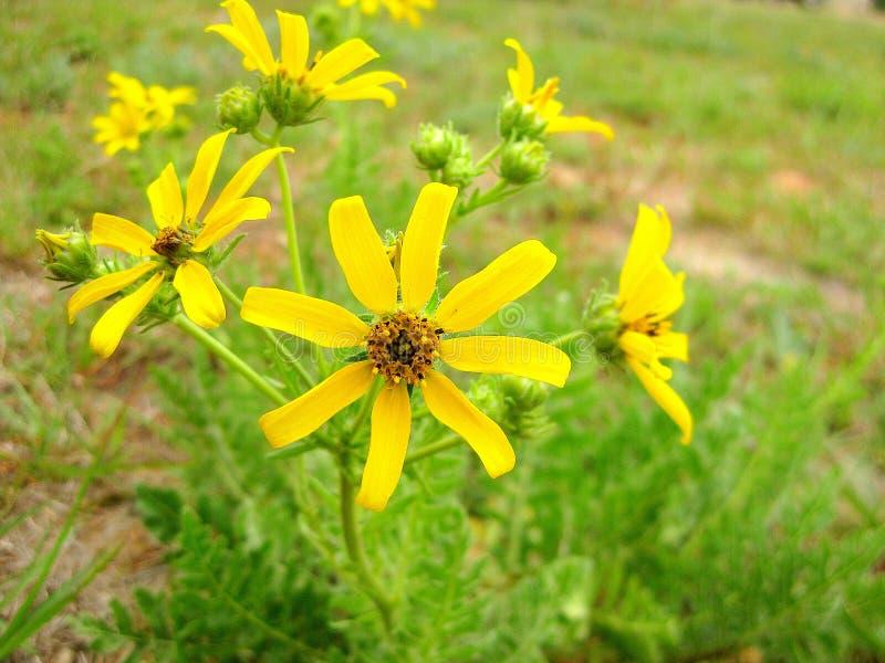 Daisy Wildflowers de Engelmann, margarida de Engelmann, margarida de Cutleaf fotografia de stock