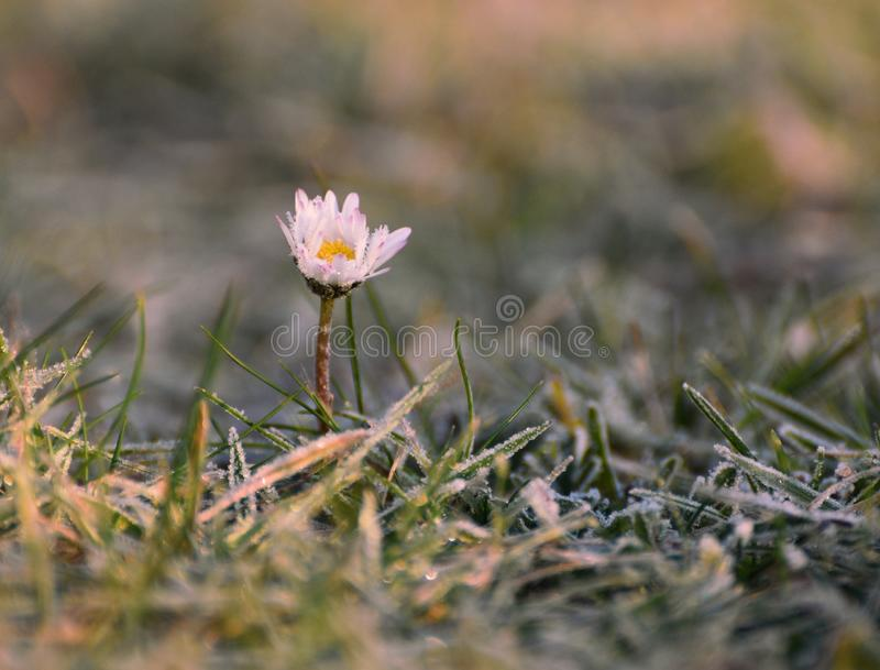 Daisy in Winter frost. A daisy in flower in January frost remains resilient despite the freezing Winter temperature stock photography