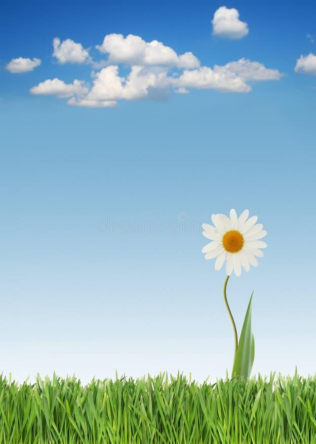 daisy wiosna obrazy royalty free