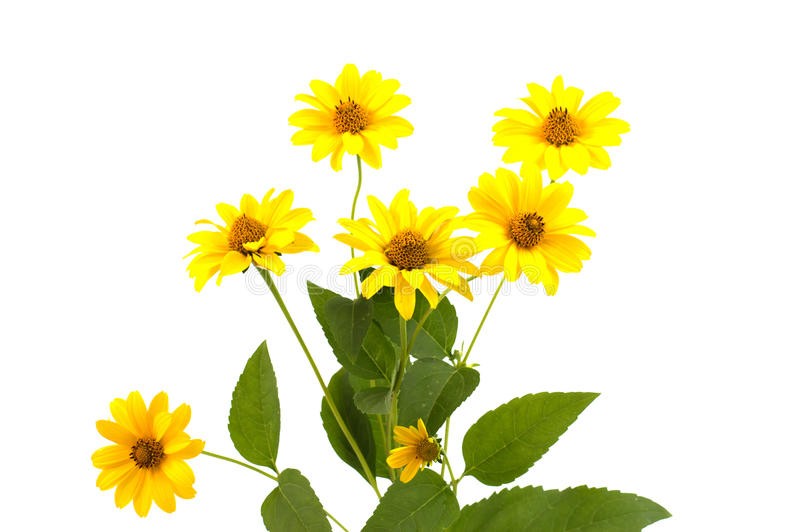Daisy yellow flower isolated stock photos