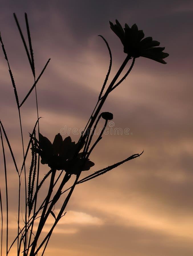 daisy, zachód słońca obraz royalty free