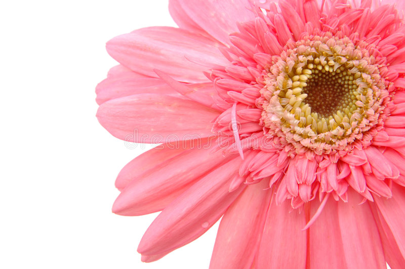daisy zamknięcia gerber różowy, obrazy royalty free