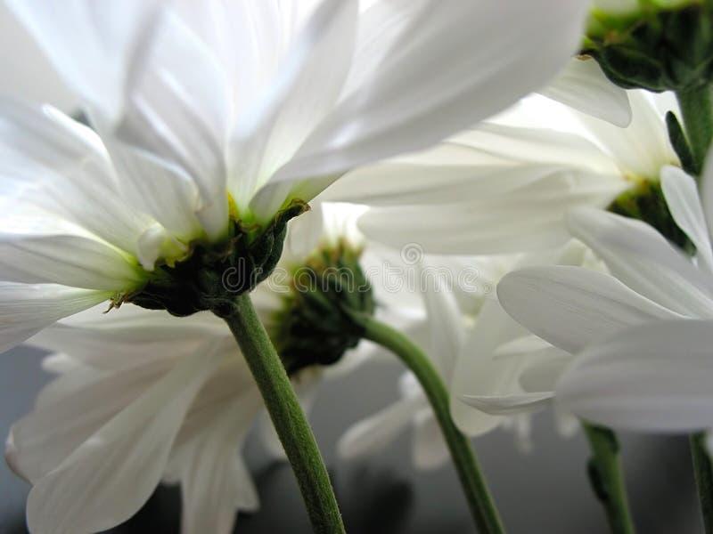 daisy zbliżania white obrazy royalty free