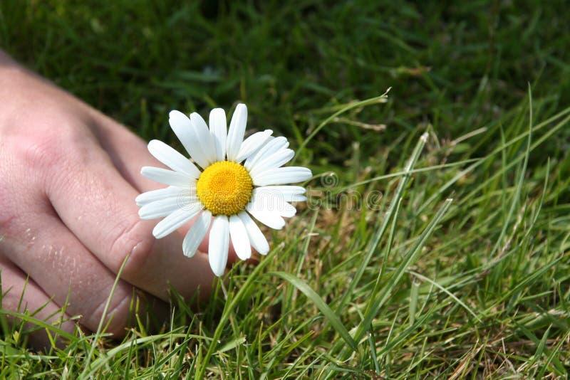 Download Daisy zrywania obraz stock. Obraz złożonej z zrywanie, palce - 142621