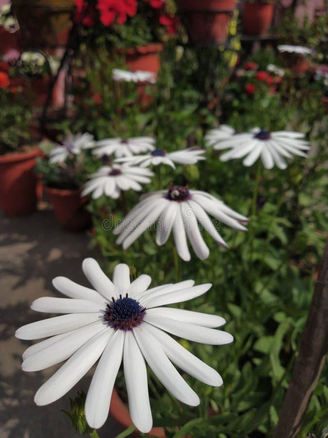 Daisybush arbustivo imagenes de archivo