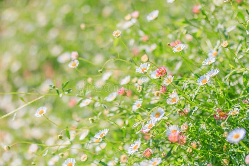 daisyes的领域 图库摄影