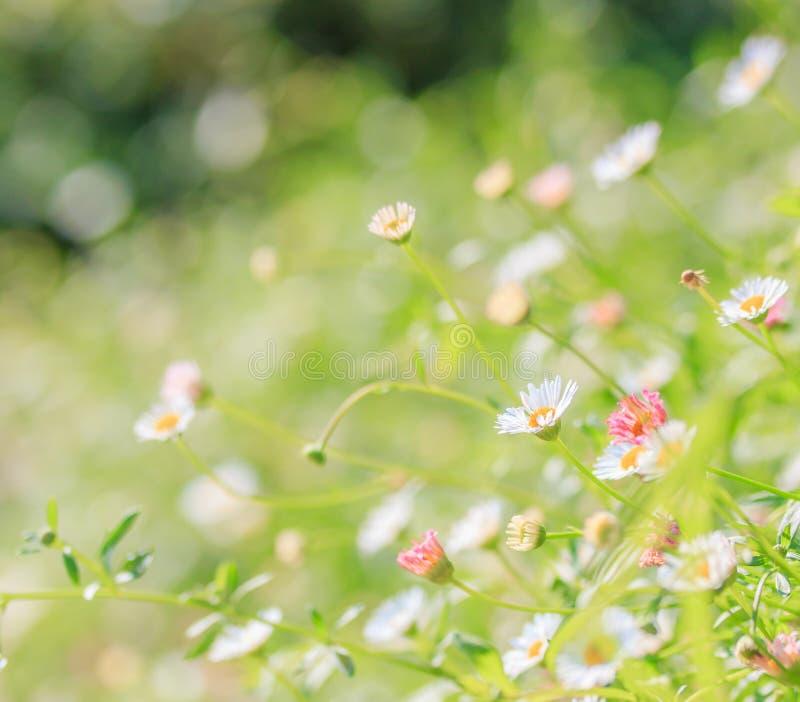 daisyes的领域 库存图片
