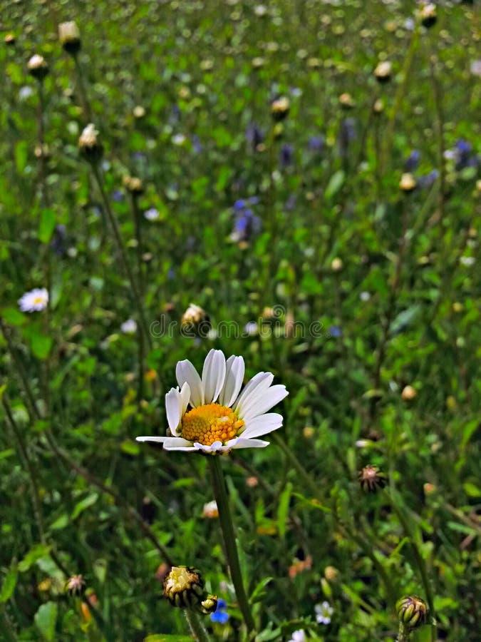 Daisyflower lizenzfreies stockfoto
