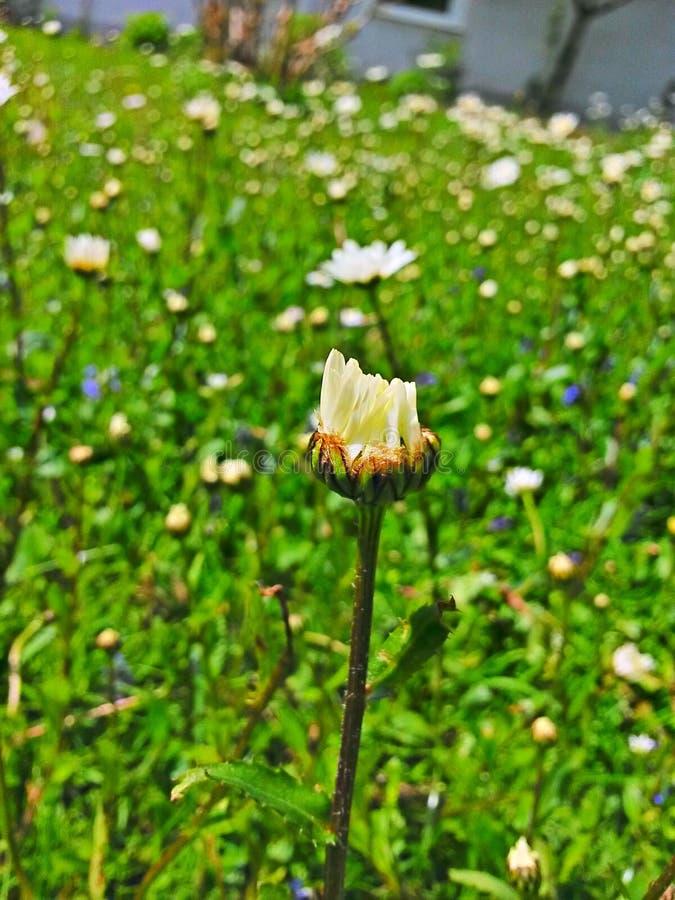 Daisyflower stockfotografie