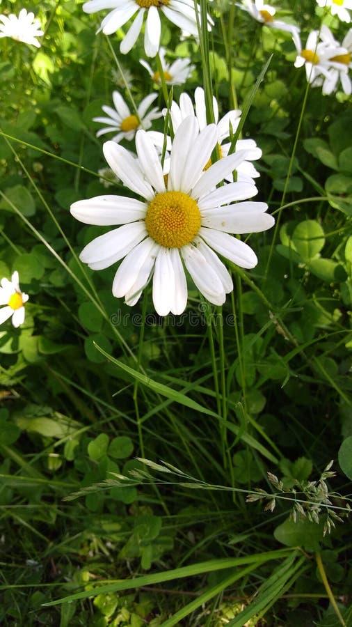 Daisyflower royalty-vrije stock foto's