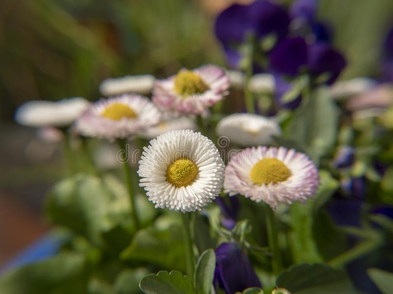 Daisyflowers в зеленом саде стоковая фотография