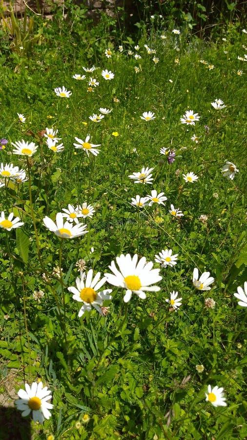 Daisyflowers royalty-vrije stock afbeelding