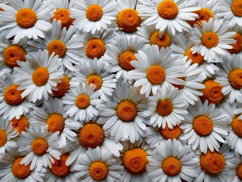 Daisys fotografia stock