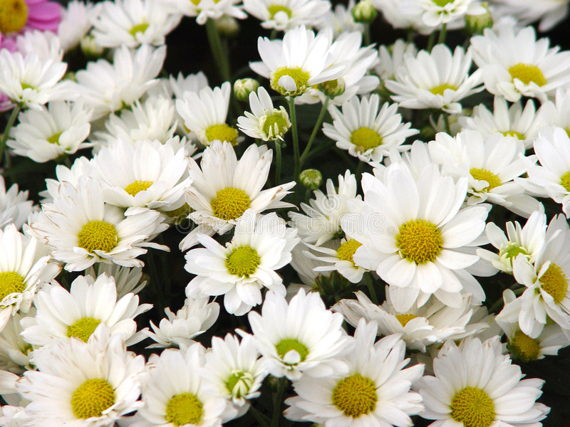 Daisys immagine stock