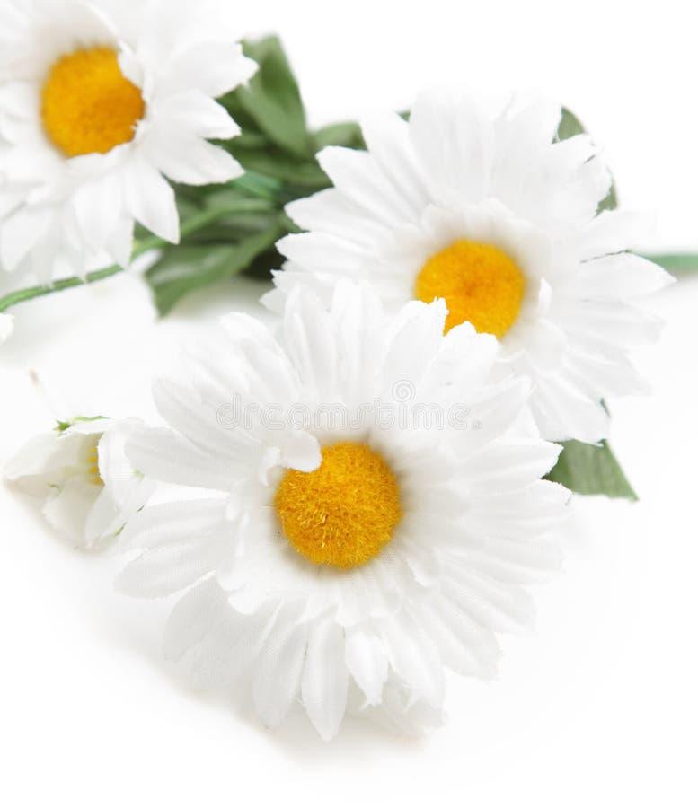 Daisys immagine stock libera da diritti