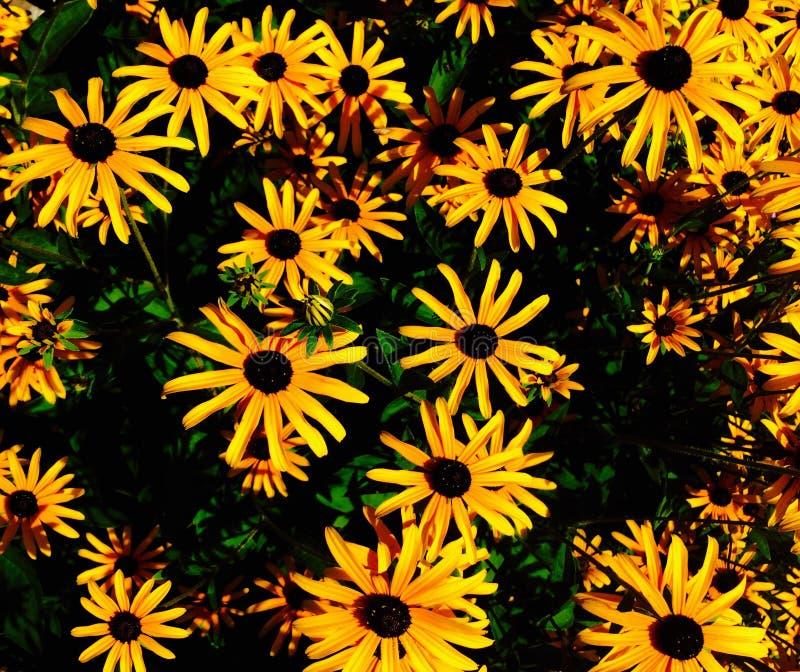 Daisys στοκ φωτογραφίες με δικαίωμα ελεύθερης χρήσης
