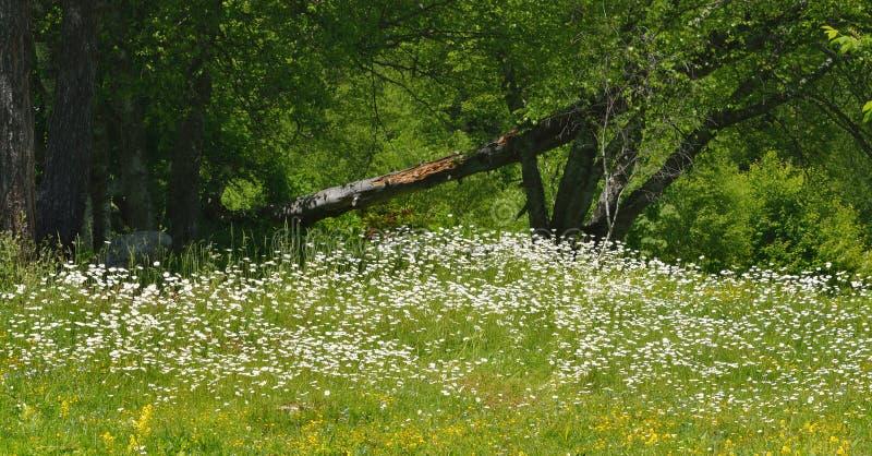 Daisys en montañas fotografía de archivo