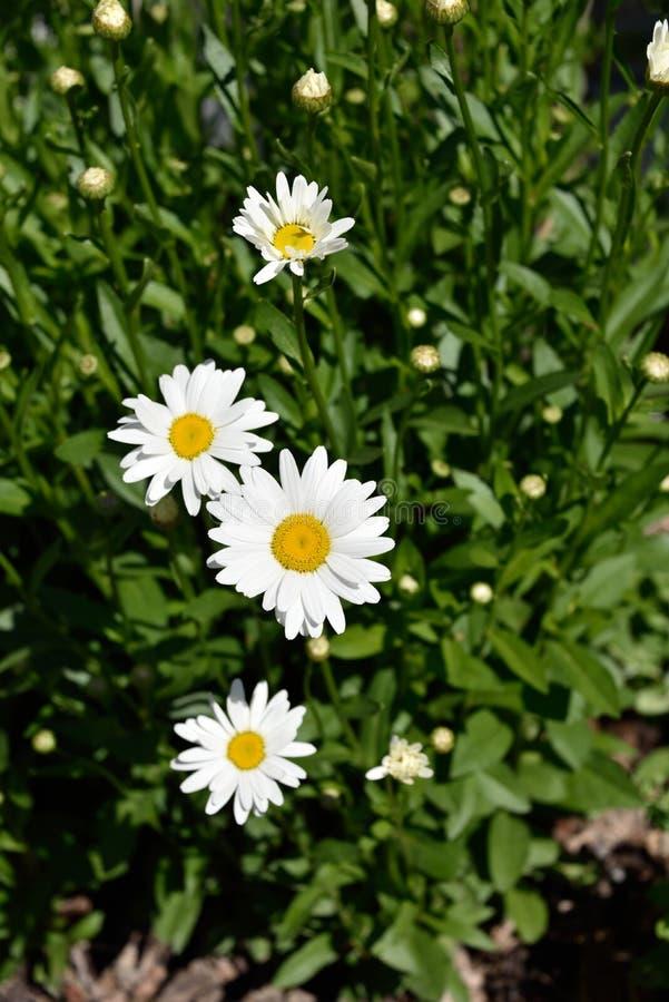 Daisys in the garden soaking up the summer sun royalty free stock photos