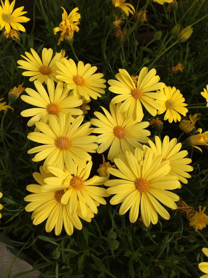 Daisys gialli immagini stock