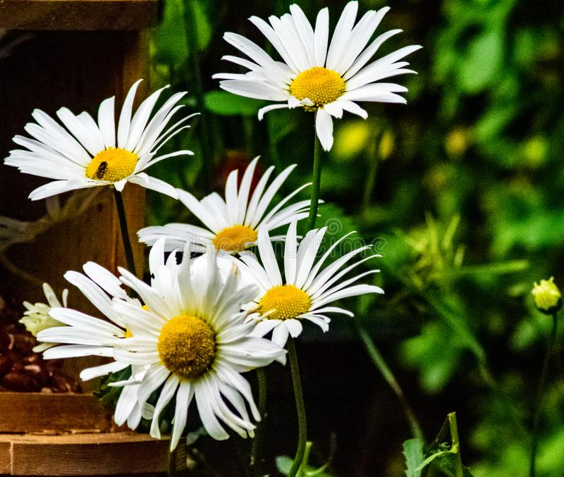 Daisys grandes na flor na primavera imagem de stock royalty free