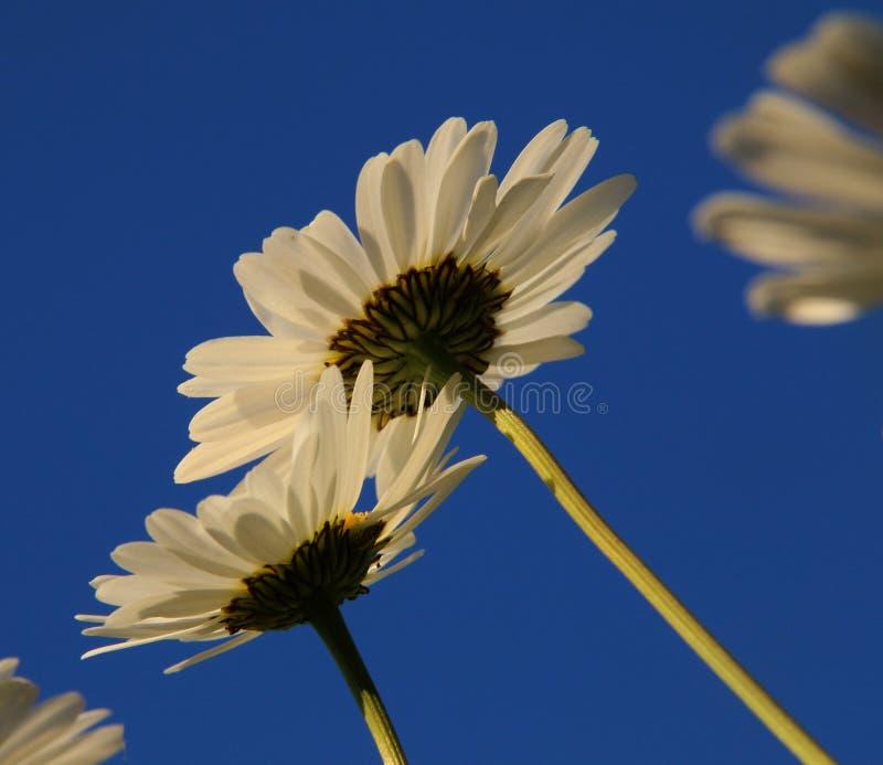 Daisys och blå sommarhimmel royaltyfria bilder