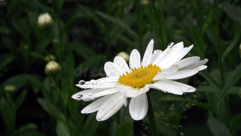 Daisys After Rain royalty free stock images
