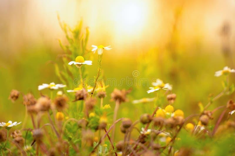 Daisys sauvage un après-midi ensoleillé photographie stock libre de droits