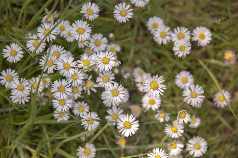 Daisys during Summer royalty free stock photos