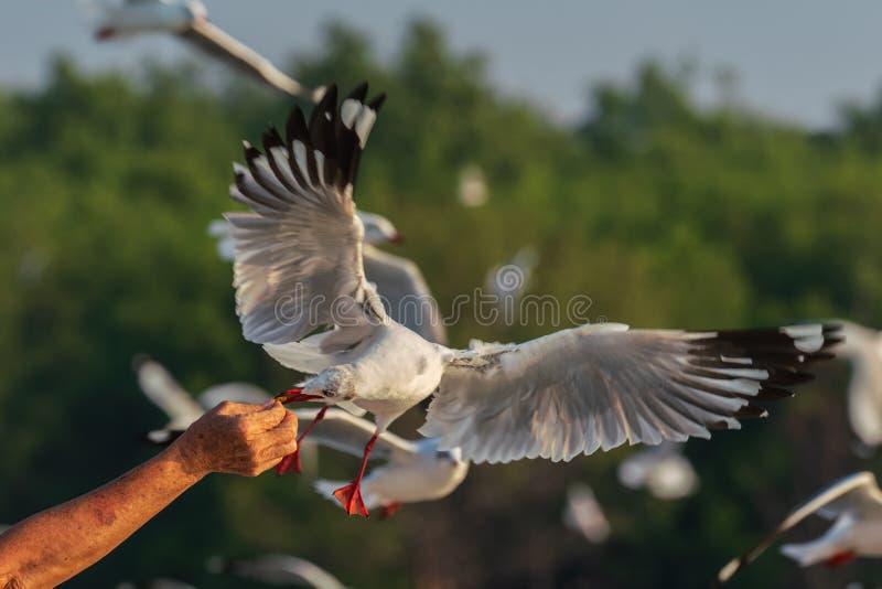 Daj jedzenie latającym Mewa obraz stock
