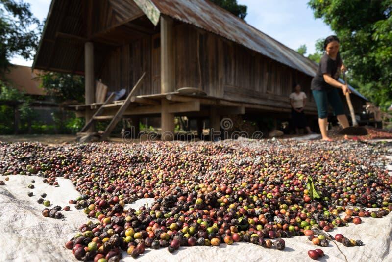 Dak Lak Vietnam - Oktober 22, 2016: Kaffebönor som torkar i solen på gård av huset i by vid Lak sjön fotografering för bildbyråer
