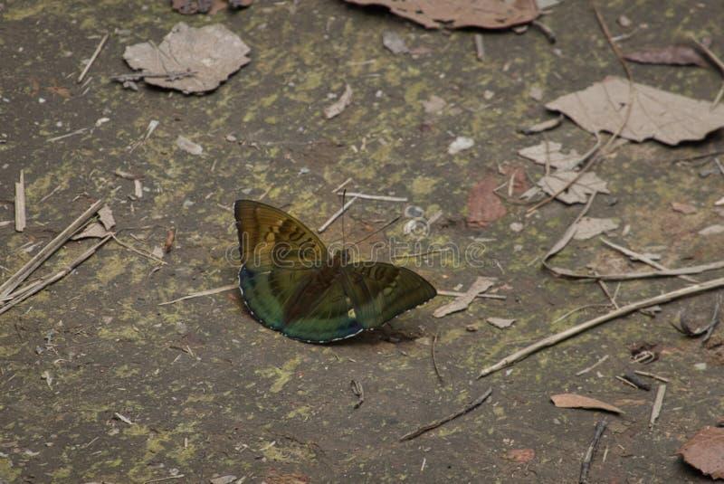 Dakhan Baron Butterfly photos stock