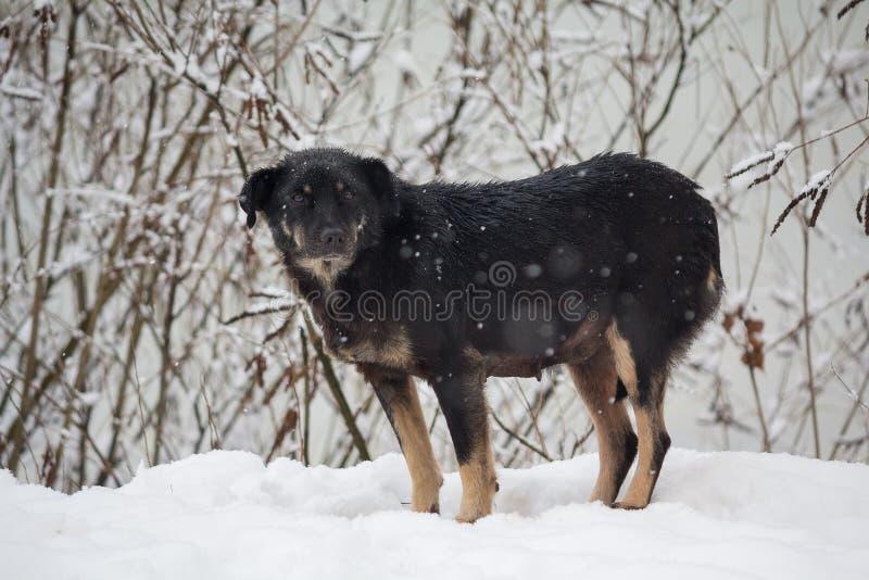 Dakloze, bevroren hond in een de winteronweer royalty-vrije stock afbeelding