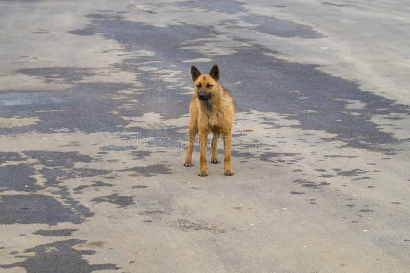 Dakloze bruine hond op de weg Gemengde rassenhond royalty-vrije stock afbeeldingen
