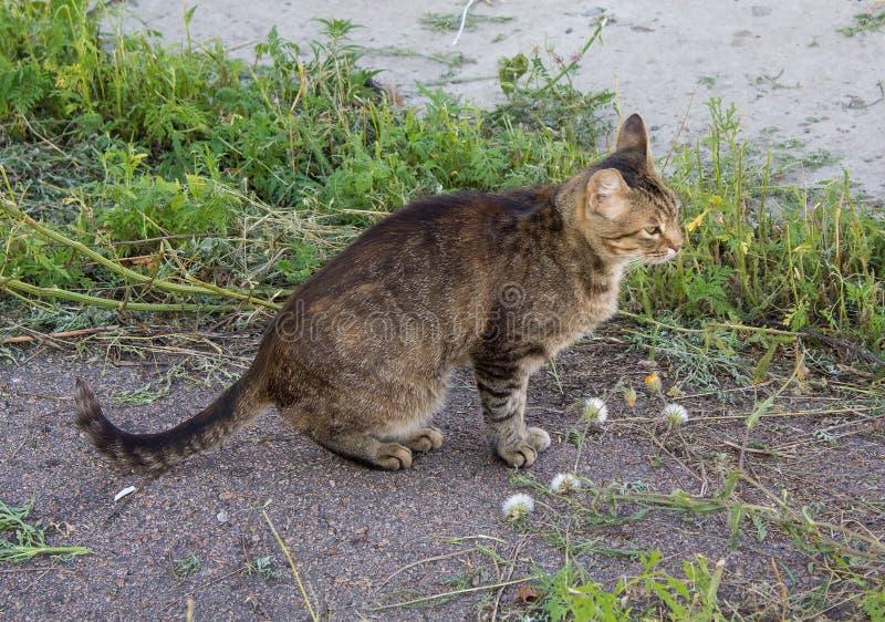 Dakloze grijze kattenzitting op de bestrating royalty-vrije stock foto