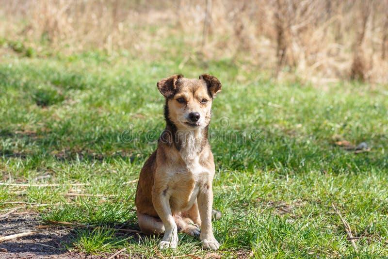 Dakloze hond Een dakloze leuke bruine hond loopt in aard Een hond r royalty-vrije stock afbeelding