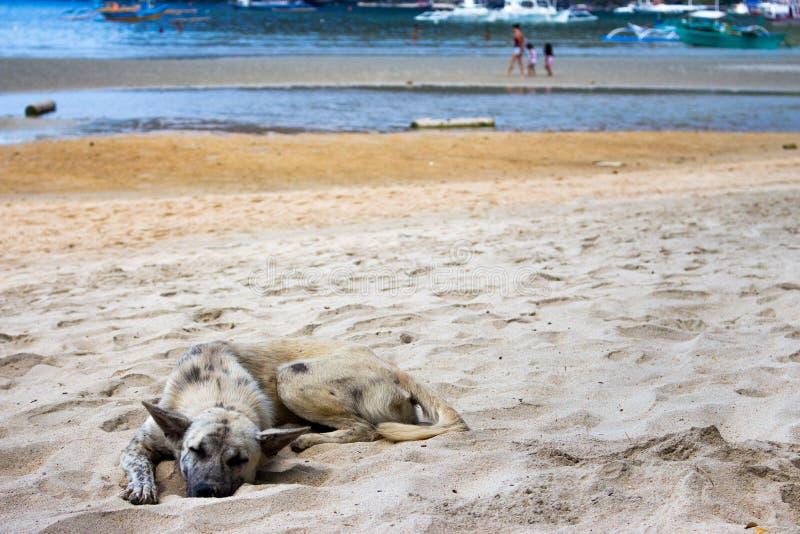 Dakloze Hond op het Strand Slaaphond op overzeese kust, Azië Aanbiddelijk vermoeid huisdier op hete de zomerdag Grijze hond die o stock foto's