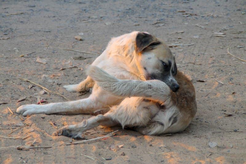 Dakloze hond zelfreinigende tik en vlo royalty-vrije stock foto's